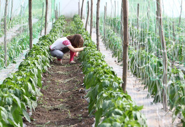 Proizvodnja paprika Foto: S. Šušnjević