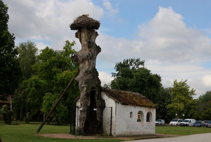 Crkvica Svete Petke koja je starinom nadrasla vek i u koju je urastao hrast foto: Aleksandar Savanović