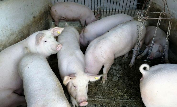 Đurđevići godišnje utove do 170 svinja Foto: M. Mitrović