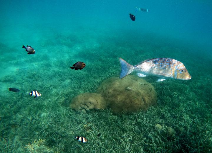 Марина Јабланов-Стојановић/Тропске рибице и корални гребени могу да се виде и на хотелским плажама