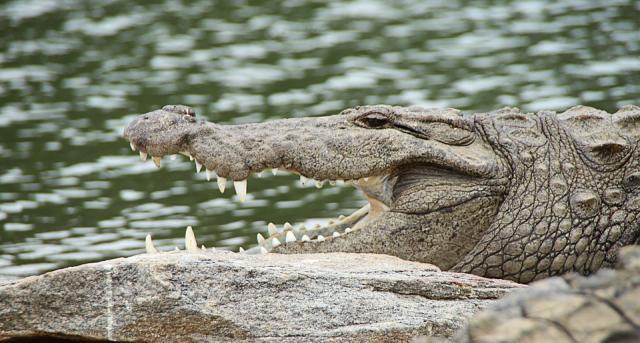 krokodil, pixabay