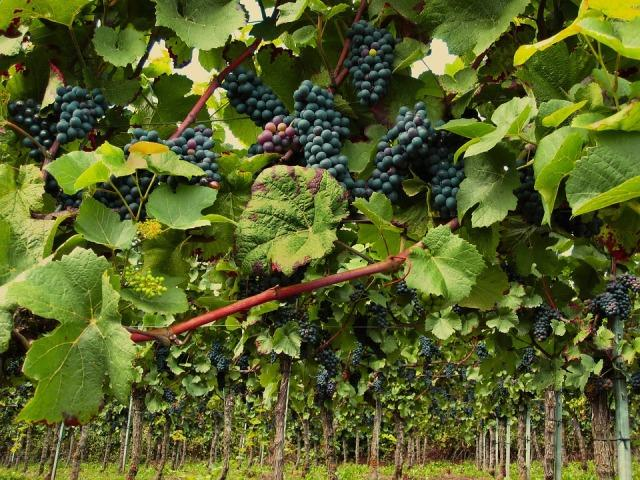 grozdje vinograd