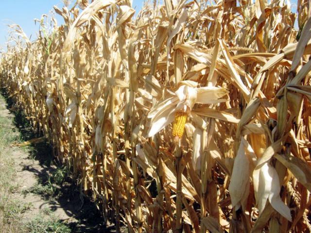 Слаба вајда од кукуруза у атару Сенте