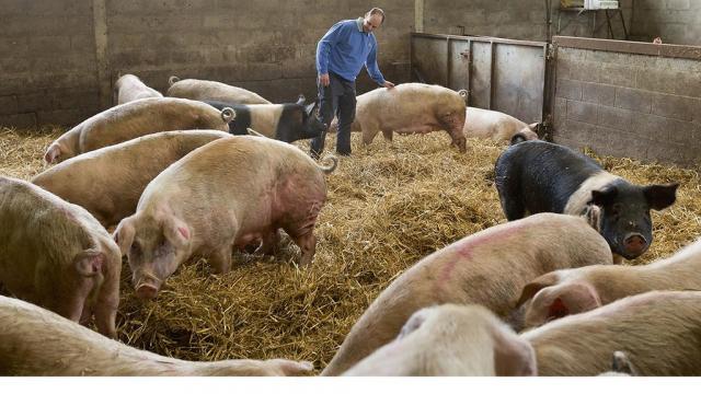 svinje, ilustracija