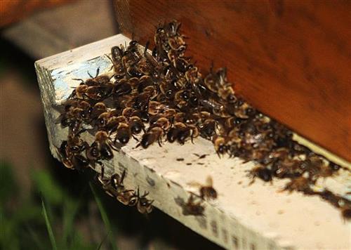 Pčele Foto: Dnevnik.rs/F. Bakić