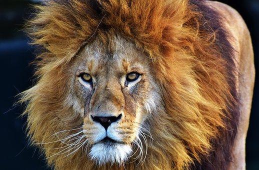 lavovi pixabay