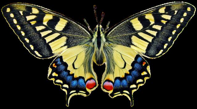 leptir1, pixabay