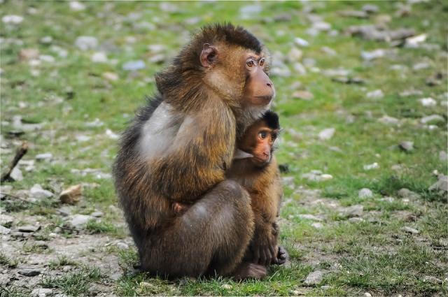 majmuni pixabay