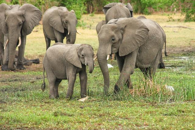 slonovi, pixabay