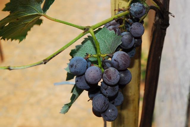 grozdje vino