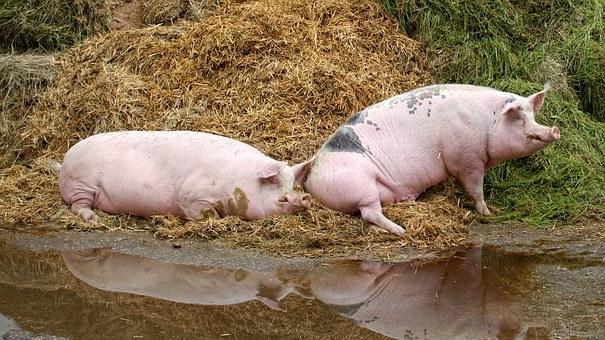 svinje pixabay