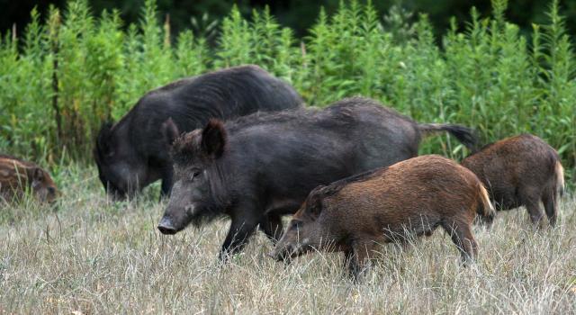 divlje svinje, JP Vojvodinašume/ilustracija