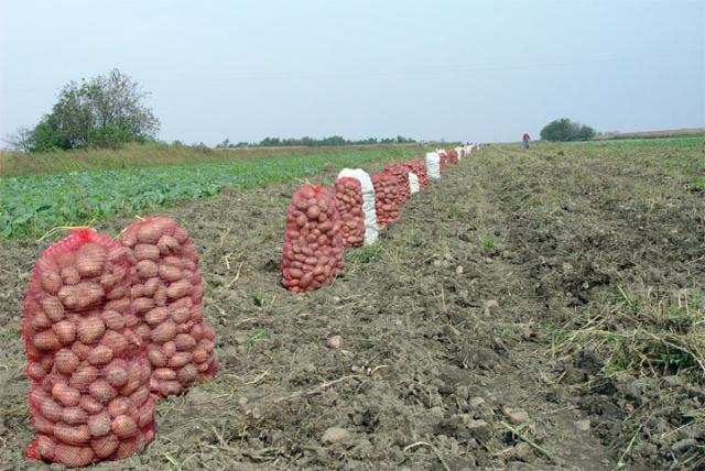 Krompir/F. Bakic
