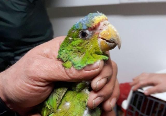 Sprečen šverc sedam papagaja na prelazu Bački Vinogradi Foto: Uprava carina