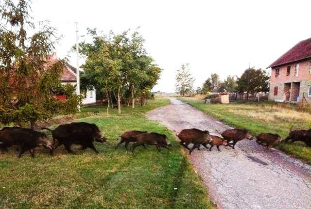 divlje svinje, Goran Bošnjak