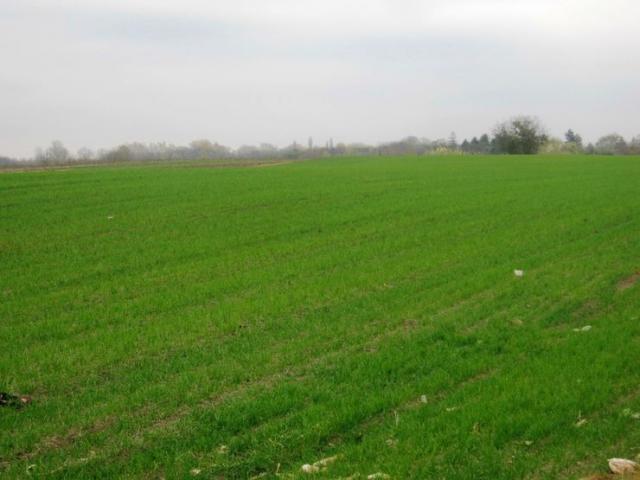 Pšenica u ataru HorgošaFoto: M. Mitrović