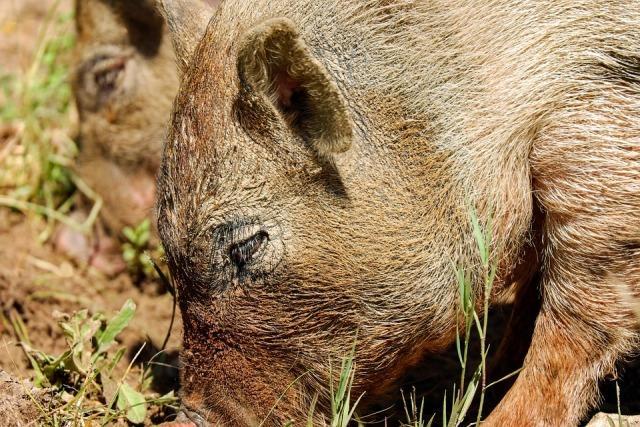 divlja svinja