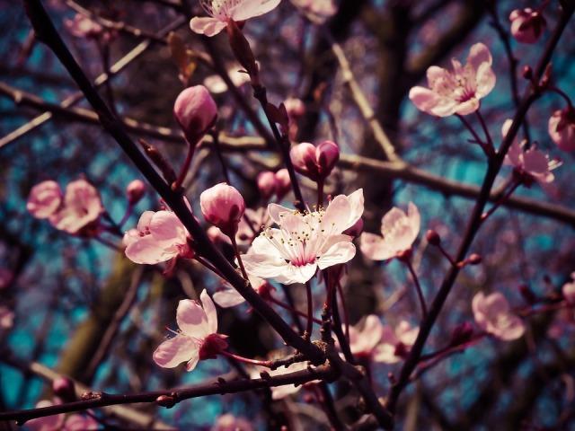 cvetanje prolece