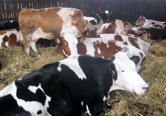 Tov junadi isplativiji od mlekarstva Foto: M. Mitrović