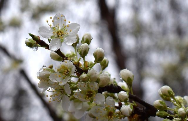 cvetanje cvet