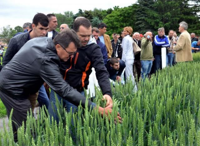 Na oglednim poljima novosadskog Instituta za ratarstvo i povrtarstvo foto: Pokrajinska vlada