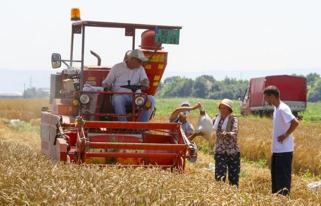 Institut za ratarstvo i povrtarstvo u Novom Sadu prvi je započeo žetvu pšenice na oglednim poljima Foto: Dnevnik.rs/R. Hadžić