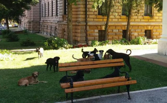 Psi lutalice u centru Sremskih Karlovaca  Foto: Dnevnik.rs
