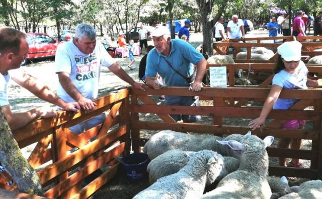 Sa izložbe ovaca u Sanadu Foto: M. Mitrović