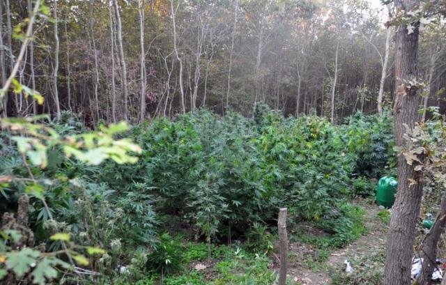 Indijsku konoplju osumnjičeni uzjagali u šumi na području Rume Foto: MUP Srbije