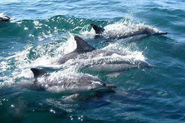 delfini, pixabay