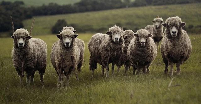 ovce, pixabay