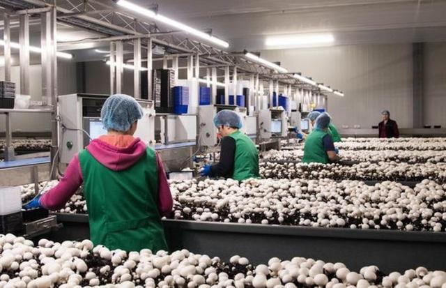 Proizvodnja gljiva Foto: privatna arhiva