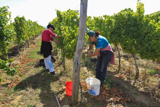 U vinogradu Foto: R. Hadžić