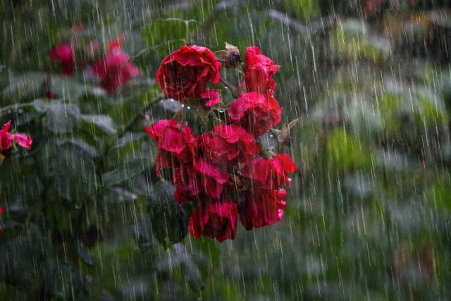 pljusak kisa leto cvece ruze pix