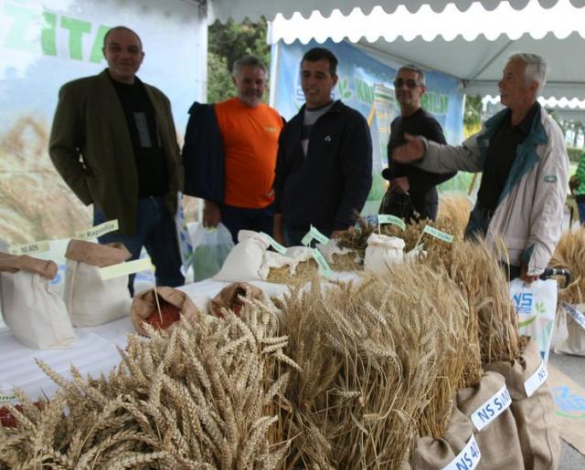 Semenska pšenica Foto: F. Bakić