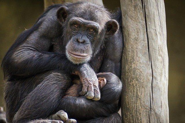 simpanza