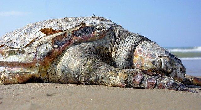 mrtva kornjaca